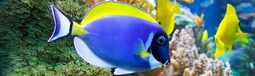 Comprar peces cirujanos baratos exofauna for Acuarios baratos