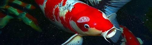 Comida para peces de estanque exofauna for Peces goldfish tipos