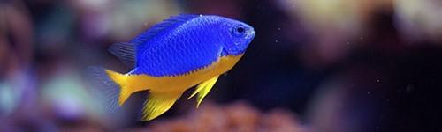 Damiselas para acuarios marinos exofauna for Peces de acuario marino