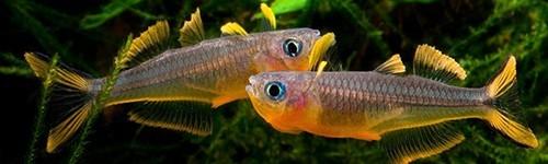 comprar peces de agua dulce online exofauna
