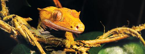 Comida Exo-Terra para Geckos Crestados