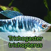 Trichogaster trichopterus - Gourami azul
