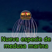 Nueva especie de medusa marina
