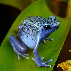 Dendrobates azureus - rana flecha azul