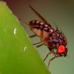 Drosophila hydei - alimento vivo para reptiles y anfibios