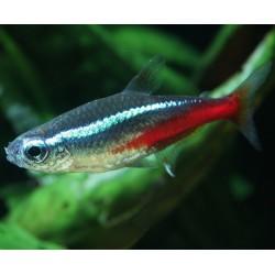 Paracheirodon innesi - Tetra azul