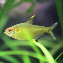 Hyphessobrycon pulchripinnis - Tetra limón