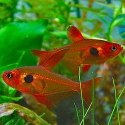 Hyphessobrycon sweglesi - Tetra fantasma rojo