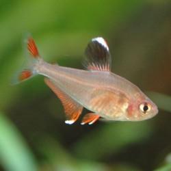 Hyphessobrycon bentosi - Tetra rosy