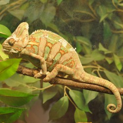 Chamaeleo calyptratus - Camaleón velado