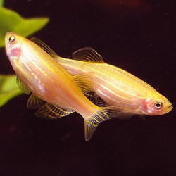 Brachydanio rerio - Cebrita oro