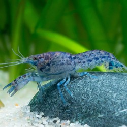 Cambarellus diminutus - Langosta azul