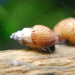 Spiky trumpet snail - Thiara winteri