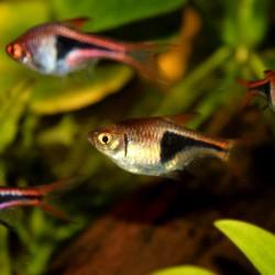Trigonostigma heteromorpha - Rasbora arlequin