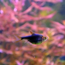 Trigonostigma heteromorpha black - Rasbora arlequin negro