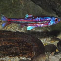 Notropis chrosomus - Barbo arcoiris