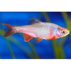 Notropis lutrensis - Salmón de agua dulce