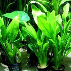 Echinodorus bleheri - Planta espada