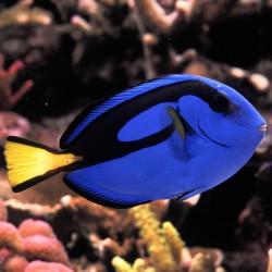 Paracanthurus hepatus - Pez cirujano azul