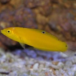 Halichoeres chrysus - Coris amarillo