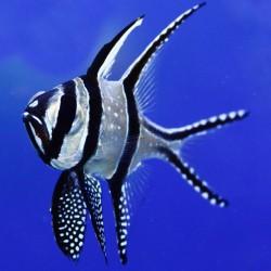Pterapogon kauderni - Cardenal de Bangai