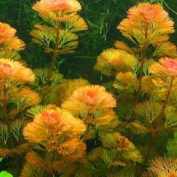 Cabomba piauhyensis - Cabomba roja