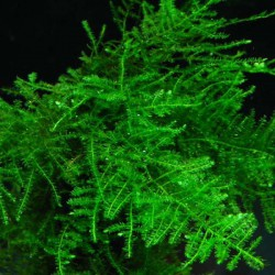 Vesicularia dubyana - Musgo de Java