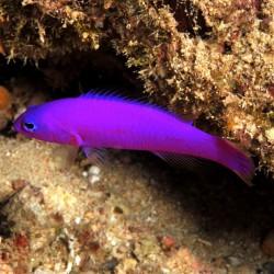 Pictichromis porphyreus - Perca enana magenta
