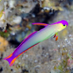 Nemateleotris decora - Gobio púrpura