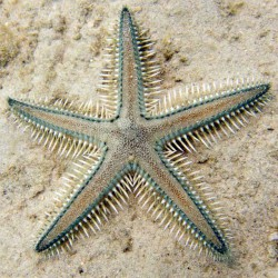 Astropecten polyacanthus - Estrella de mar peine