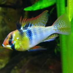 Microgeophagus ramirezi 'Azul Alemán'