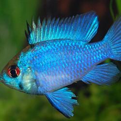 Microgeophagus ramirezi 'Azul Eléctrico'