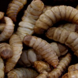 Hermetia illucens - Gusano fénix - Alimento Vivo