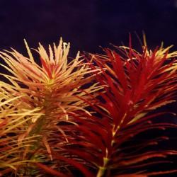 "Limnophila aromatica ""red"" - Hierba del Arroz"