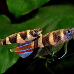 Aplocheilus annulatus - Killi payaso - Killi clown