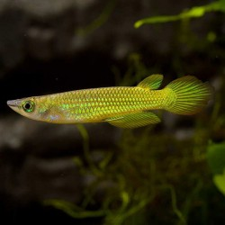 Aplocheilus lineatus - Killi golden wonder