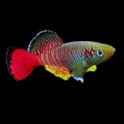 Nothobranchius guentheri - Notho de cola roja