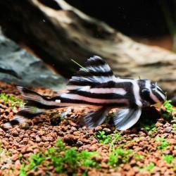 L046-Hypancistrus zebra