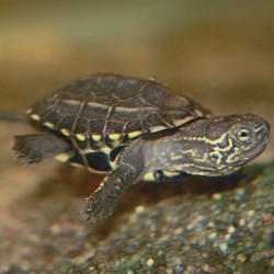 Mauremys reevesii - Tortuga de agua china