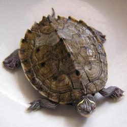 Graptemys kohnii - Tortuga de agua de Florida