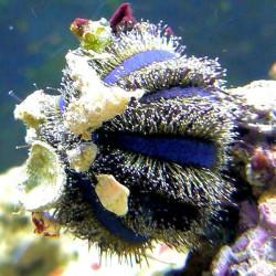 Mespilia globulus purple-black - Erizo de arrecife
