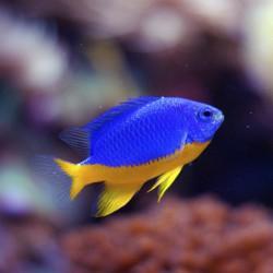 Chrysiptera hemicyanea - Damisela azul