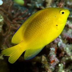 Pomacentrus moluccensis - Damisela limón