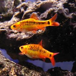 Puntius semifasciolatus - Barbo dorado