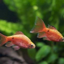 Puntius conchonius - Barbo rosado - Barbo conchonius rojo