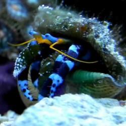 Calcinus elegans - Ermitaño patas azules