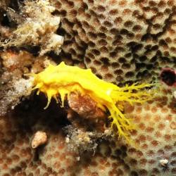 Colochirus robustus - Pepinos de Mar