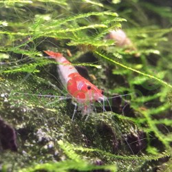 Neocaridina heteropoda/davidi 'Red Rili'