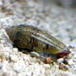 Olivia sp. - Olivia snail