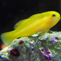 Gobiodon okinawae - Gobio payaso amarillo